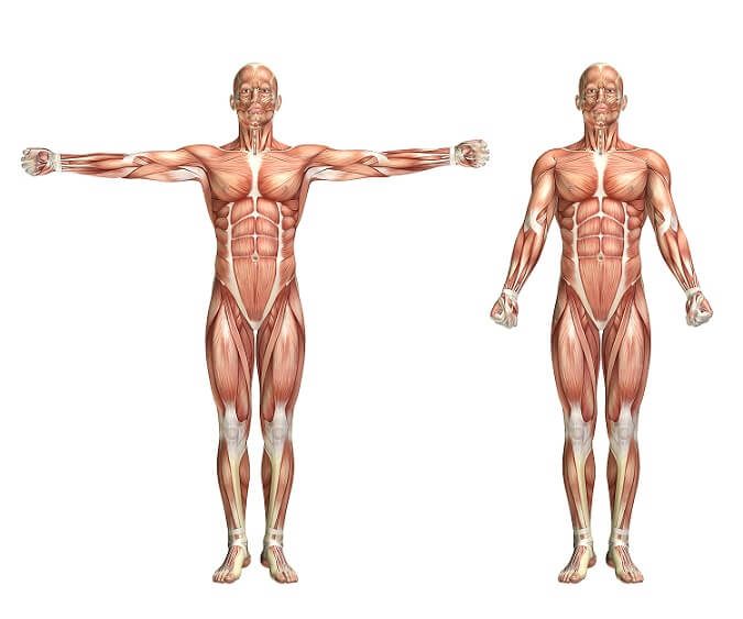 muscles in human body